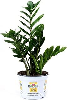 Burpee Zamioculas zamiifolia ZZ Indirect Medium Light | Live Easy Care Indoor House Plant, 6