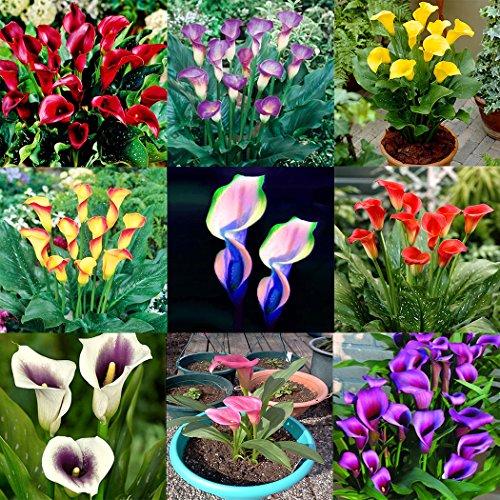 Soteer 100 Stück Calla Lilien Samen Seltene Pflanzen Blumensamen Mischfarbe Bonsai für Garten, Balkon usw.