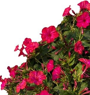 Four O'clock Seeds - Pink, Maroon Edges - UPC 600188194647 +1 Free Plant Marker (60)