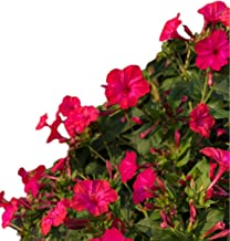 four o clock flowers annual or perennial