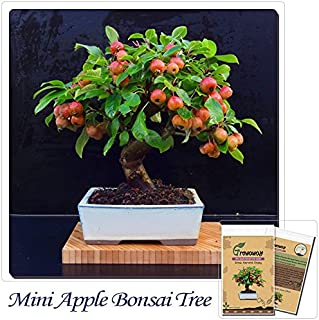 53pcs//bag apple tree seeds Dwarf bonsai apple tree MINI fruit seed for home gard