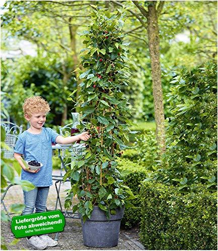 BALDUR-Garten Maulbeere BonBon Berry®,1 Pflanze Morus, Mojobeere, Beerenobst