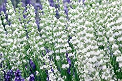 Buy Edelweiss White Lavender
