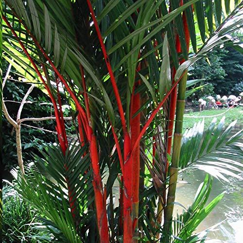 ScoutSeed Barra Labios Palm Cyrtostachys Renda Tree