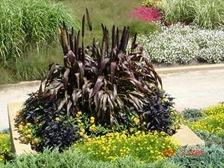 ornamental millet purple majesty