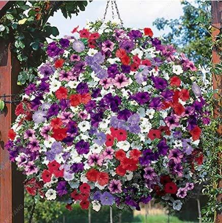 Tomasa Samenhaus- 100pcs Petunie Blumensamen Winterhart mehrjährig Petunie Samen Kletterpflanze Zauberglöckchen Blumentöpfe für Balkon und Terrasse