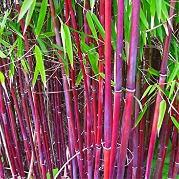 Red Clumping Bamboo Seeds 200+ Red Fountain Bamboo Red Stem Umbrella Bamboo Privacy Screen