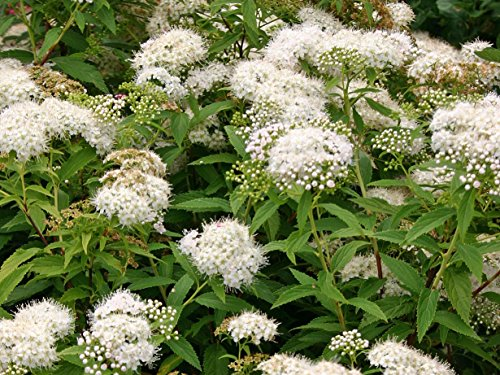 10 x Spiraea japonica 'Albiflora' (Weiße Zwergspiere) BLÜHENDE HECKE ab 0,99 € pro Stück