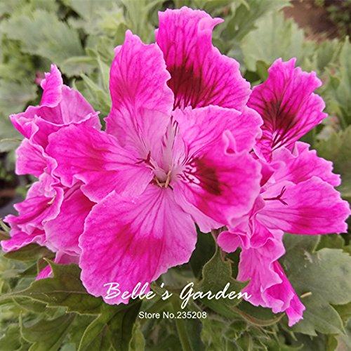 5pcs Couleurs multiples Variétés Géranium Graines Bonsai Pelargonium vivaces Graines de fleurs Hardy Patio Plante Plante en pot bricolage 03
