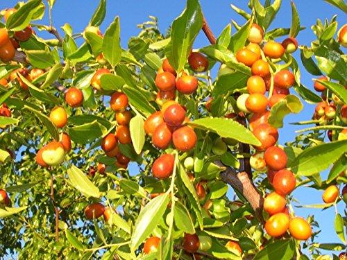 Ziziphus Mauritiana (Jujube indien) 100 graines, Ber, pomme chinoise, prune indienne, jujubier