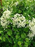 Kletterhortensie Hydrangea petiolaris 80 cm hoch im 3 Liter Pflanzcontainer -