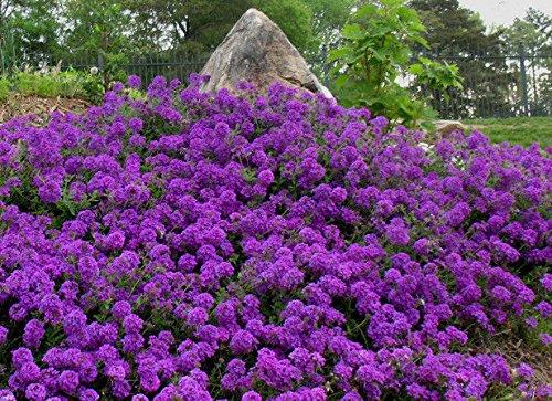 ScoutSeed Moos-Verbenen-Samen, Veilchen, mehrjährige Bodendecker-Blumensamen, Erbstück 75ct