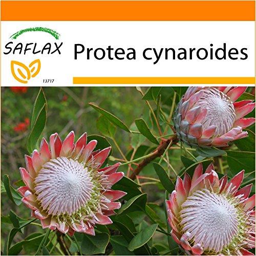 SAFLAX - Garden in the Bag - Königsprotea - 5 Samen - Mit Anzuchtsubstrat im praktischen, selbst aufstellenden Beutel - Protea cynaroides
