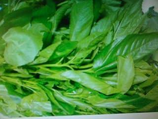 300 Plus Jute Seeds, Egyptian Spinach,Saluyot, Molokhia by Gardenlady