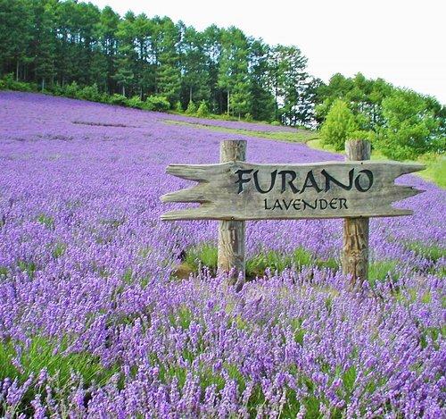 Paquet de 5 100 graines de lavande Graines bleu foncé Lavandula Anjustifolia Aromatique Graine de plantes D035