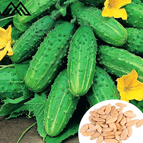Gemahlene Gurke Groatia F1 - pelletierte Samen - 50 Samen,Gemüsesamen Hausgarten Pflanzen Blumensamen für Garten Balkon/Terrasse