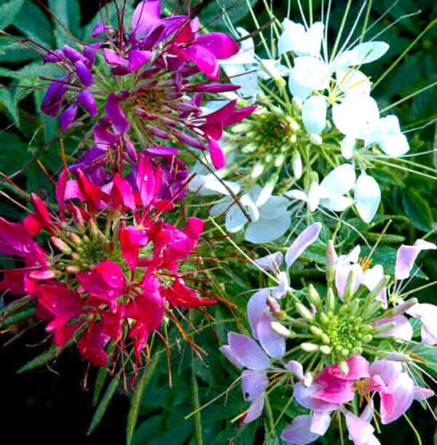 SPIDER FLOWER COLOR FOUTAIN MIXTURE - 450 SEEDS - Cleome Hassleriana