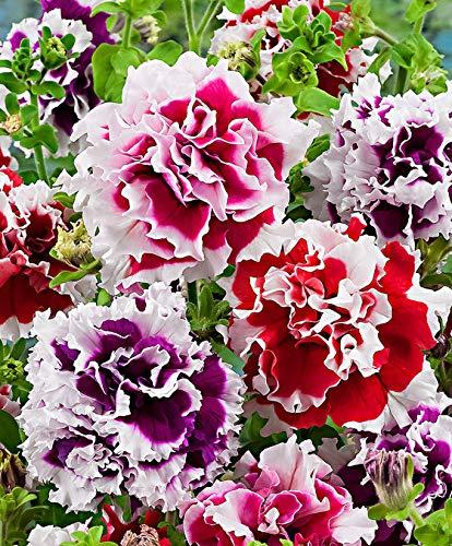 Keland Garten - 200pcs Raritäten Petunien-Pillensaat 'Double Pirouette F1' - gefüllte Petunie zweifarbig Saat Blumensamen Mischung winterhart mehrjährig geeignet für Topf/Bonsail/Blumenkasten
