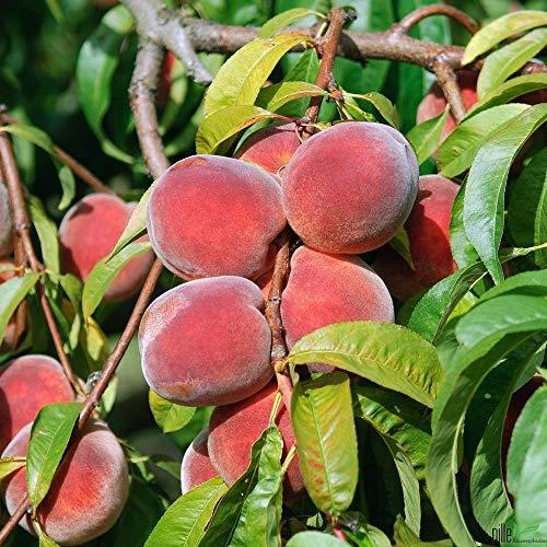 Pfirsichbaum winterhart Red Haven Pfirsich Obstbaum 80 - 120 cm 2-jährig im Topf