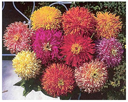 Lot de 50 graines Zinnia élégant à fleurs doubles - Chrysanthemum mix - annuelle