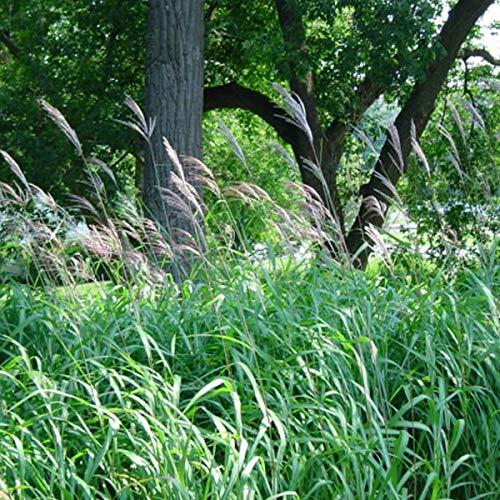 6 x Miscanthus Sacchariflorus - Eulalie; roseau de chine godet 9cm x 9cm