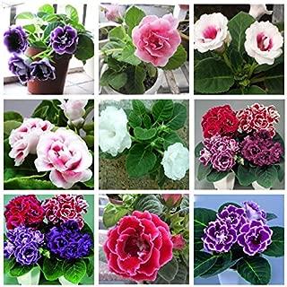 Hot Sale! 120 pcs Hot Sale 10 Colors Can Be Choose Gloxinia Seeds Perennial Flowering Plants Sinningia Speciosa Bonsai Balcony Flower - Arcis New