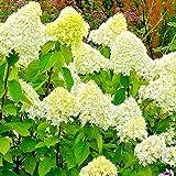 Rispenhortensie XXL Blüten   Winterharte ganzjährige Hortensie   Hydrangea paniculata Limelight   Lieferhöhe: 20-40 cm   1 Stück Topf Ø 19cm