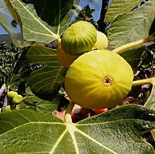 100 Samen gelbe türkische Feige, Sorte Aydin Incir, sehr süss