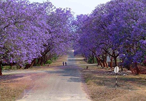 Bleu Jacaranda, flamboyant bleu, 60 graines d'arbres (Spectaculaire fleurs, rapide)