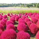 Keshang Fiore Grande Naturale Elegante,Pianta da Esterno Pelle Rossa Pelle Verde Terra ginestra Erba Semi-Rosso_250g,Bonsai da Giardino Piccolo