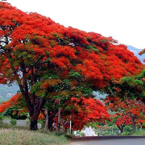 Royal Poinciana Flame Tree Seeds (Delonix regia) 3+ Tropical Tree Seeds + FREE Bonus 6 Variety Seed Pack - a $29.95 Value! Packed in FROZEN SEED CAPSULES for Growing Seeds Now or Saving Seeds