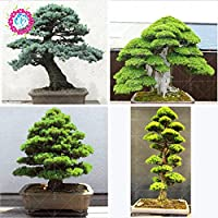 10pcs / semillas de árboles raros bolsa para el hogar bonsai orgánica roja cedro japonés Semillas de hoja perenne deodara madera semillas en macetas de interior