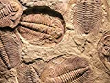 Cambrian Explosion to Dinosaur Extinction