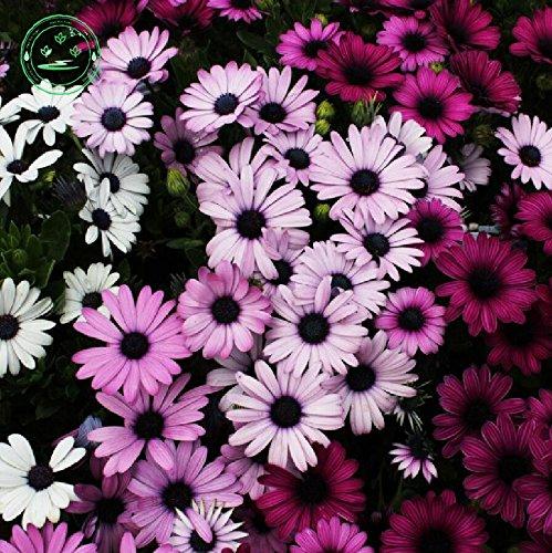 Original-Pack 10 Samen/Packung Mixed Südafrika Ringelblume, Topfblumensamen Tagetes erecta, Balkonpflanzen und Blumen J63