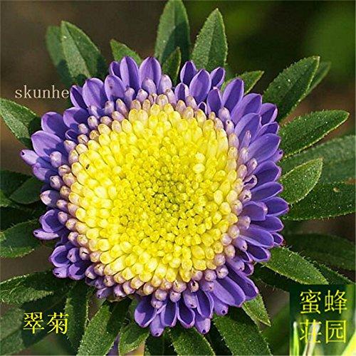 Aster graines de graines de fleurs de vanille Variété de la cire turquoise Jiangxi graines chrysanthème environ 100 graines 1