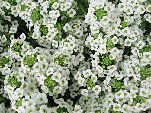 Alyssum Carpet of Snow Nice Garden Flower by Seed Kingdom Bulk 40,000 Seeds
