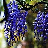 Zoom IMG-2 wisteria glicine vite semi alberelli