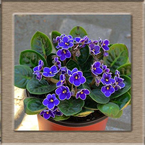 100 piezas semillas africanas flores bonsai semillas violetas Moonstone semillas de plantas en maceta perennes para el jardín de 2