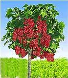 BALDUR Garten Johannisbeeren 'Rote Rovada', 1 Stamm, Ribes rubrum Johannisbeerstamm Beerenobst winterhart