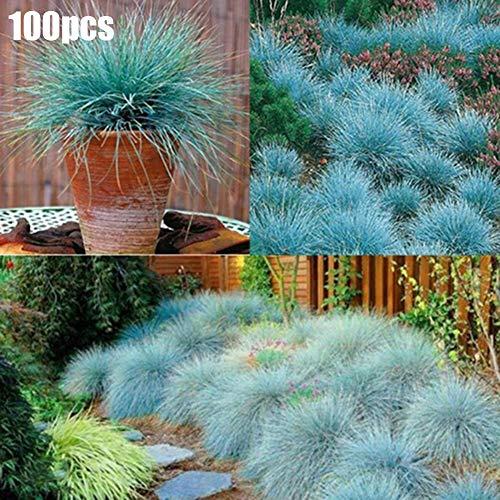 Blue Fescue Grassamen, 100 Stück Blue Fescue Grassamen Mehrjährige Ziergarten Festuca Glauca Pflanze Blaue Schwingelsamen