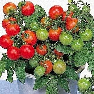 Alyf Market Patio Tomato Seed (F1 Hybrid) Patio Growing Space Saver (25 Seeds)