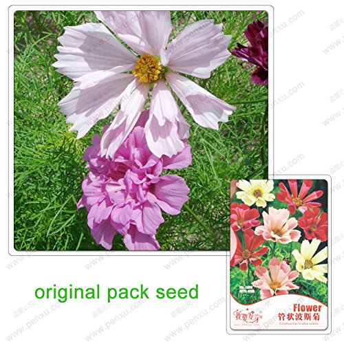 60 graines/Pack, cosmos Fleurs, graines de coréopsis, graines de fleurs terrasse de jardin en pot, belle plante facile à cultiver