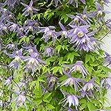 Clematis 'Alpina' | Clematis Perennial | Blue Flower | Hardy Climbing Flowers | Height 60-70 cm | Pot-Ø 15 cm