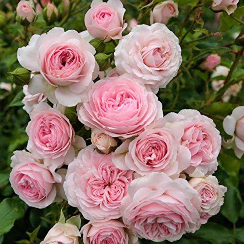 Kordes Rosen Larissa Beetrose, rosa, 12 x 12 x 40 cm