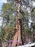 40 GIANT SEQUOIA Sequoiadendron Giganteum Sierra Redwood Tree Seeds