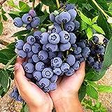 beautytalk giardino-mirtillo biologico, semi di mirtillo in un vaso da giardino, semi di frutta esotica di perenni mirtilli americani bonsai