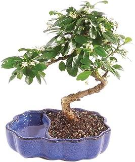 Best tea tree plants for sale Reviews