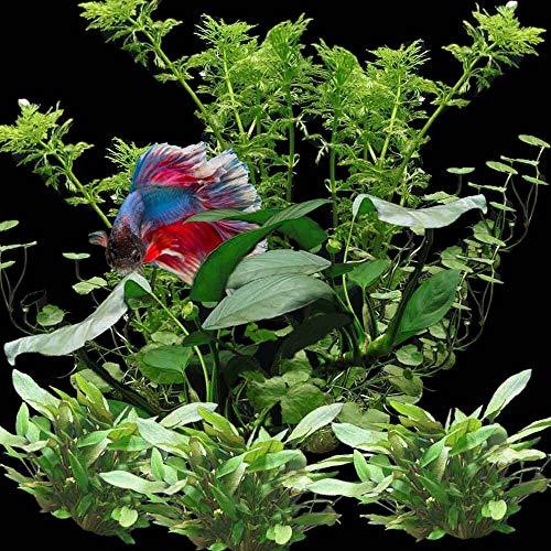 OrinocoPlants Perfect for Kampffisch Pflanzenset