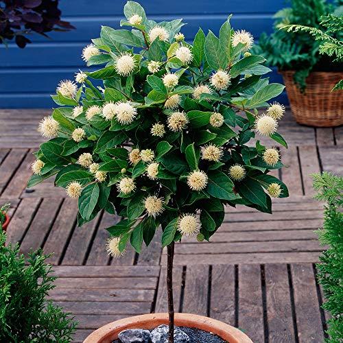 Cephalanthus occidentalis | Kugelblume Hochstamm | Blühende Pflanzen für Garten | Höhe 50 cm | Pot Ø 19 cm
