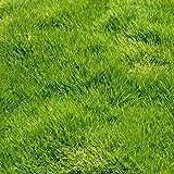 Seme di Zoysia japonica sempreverde
